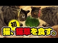 初めて子猫に猫草をあげてみた!〜A kitten eats grass!〜