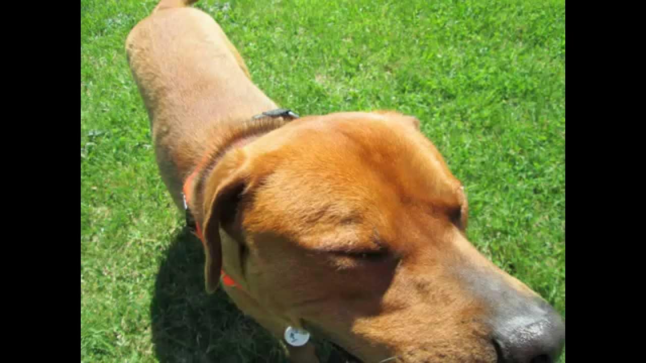 Forsyth Animal Control Rottweiler Mix Rottweiler Pitbull Blue