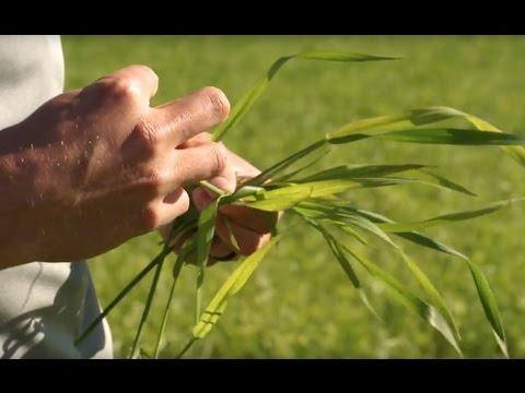 GCC Ag Moment:  Wheat Streak Mosaic Virus