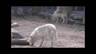 International Wolf Center - Update on the 17 April Medical Exams
