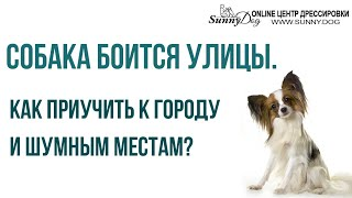 Собака боится улицы. Как приучить собаку к городу и шумным местам? Дрессировка папильона