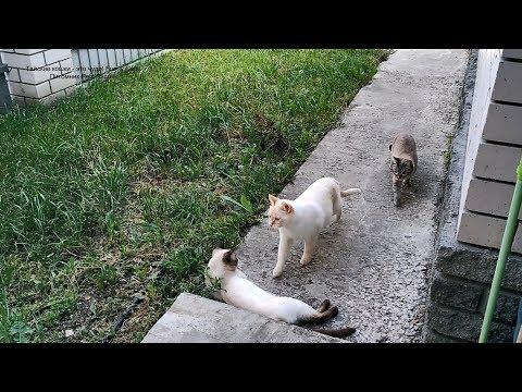 Как гуляют тайские котики Немо, Дориан и Лукас! Тайские кошки - это чудо! Funny Cats