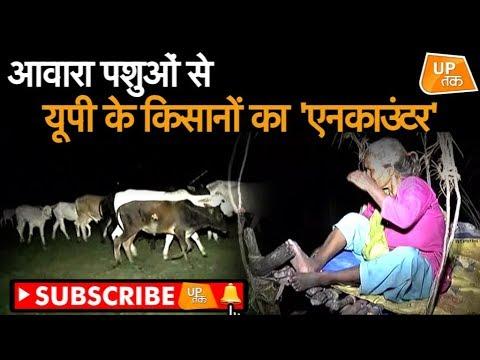 आवारा पशुओं से यूपी के किसानों का 'एनकाउंटर'   UP Tak