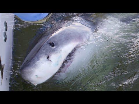 Hilton Head 'shark whisperer' starts great white season with 3 sharks in 1 day