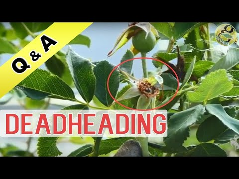 Deadheading in Gardening | What is the meaning of Deadheading Roses| Flowering Plant Care