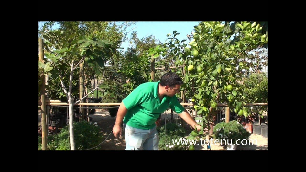 Limoneros para las terrazas youtube - Limonero en maceta ...