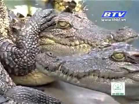 kỹ thuật,mô hình  nuôi cá sấu thương phầm