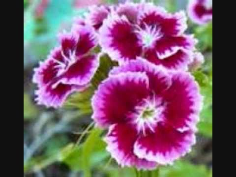 Petite Fleur ( little flower )