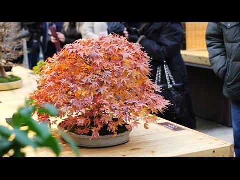 Бонсай: мир маленьких деревьев в Москве (новости)
