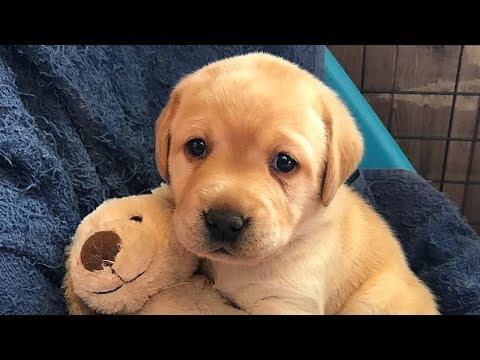 Labrador Retriever Puppies Compilation
