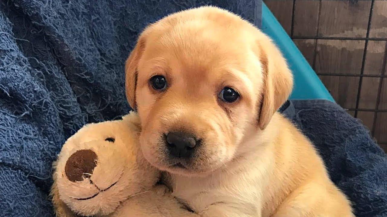 Labradorretriever Labradorpuppies Labrador