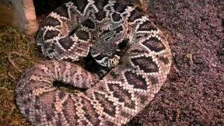 Crotalus adamanteus - Östliche Diamant-Klapperschlange (Eastern Diamondback-Rattlesnake )