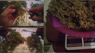 Colheita Completa Secando, Manicurando E Pesando Pé De Cannabis, Maconha Natural #82 ( GORDÃO THC )