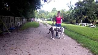 Deaf Dog Training Remote Pager Introduction Great Dane Tosca Dogtra