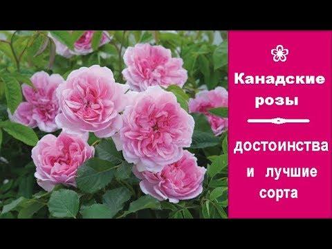 ❀ Канадские розы: достоинства и лучшие сорта