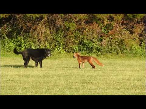 Fox vs Dog. Fox attack Dog.