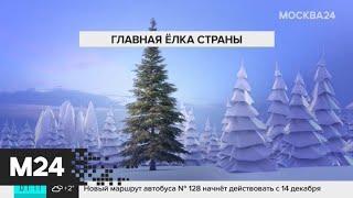 В Подмосковье 13 декабря спилят главную новогоднюю елку страны - Москва 24