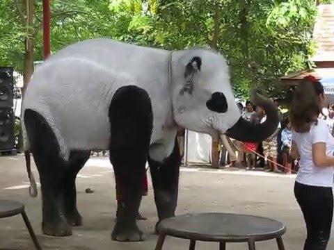 asian-elephant-panda-bear-distribution-short-skirt-naked