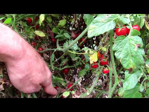 The #1 Small Cherry Tomato I Recommend: Prolific, Disease Resistant, Sweet &  Non-Cracking