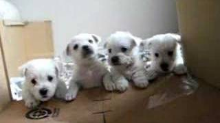 1 Month Old Westie / Maltese X Puppies 2