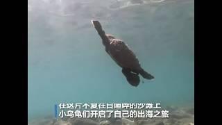 游客稀少拯救濒危物种泰国玳瑁龟产卵数量翻三倍
