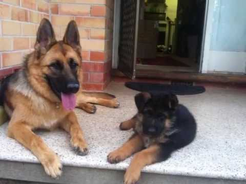German Shepherd Puppies in Pictures