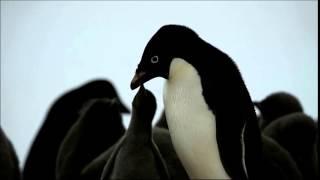 南極オングルカルベン島のペンギン映像です。 ペンギンのヒナに餌を与え...