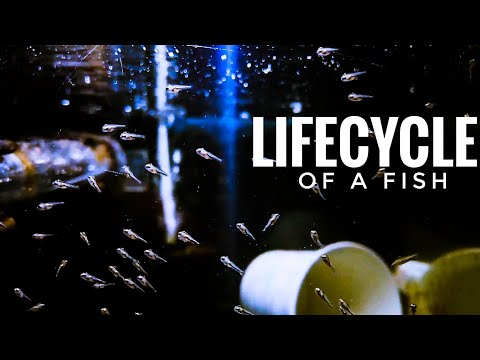 Lifecycle Of A Fish-From Eggs To Free Swimmers