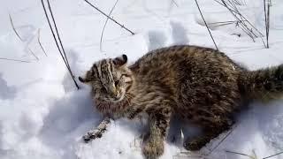Амурский дикий кот. Камышовый