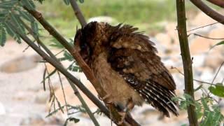 Burung hantu kesiangan