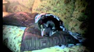 Staffordshire Bull Terrier Snoring, Staffi Snoring.mp4