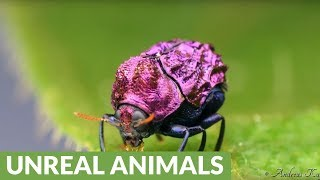 Beetle from Amazon rainforest is incredibly shiny