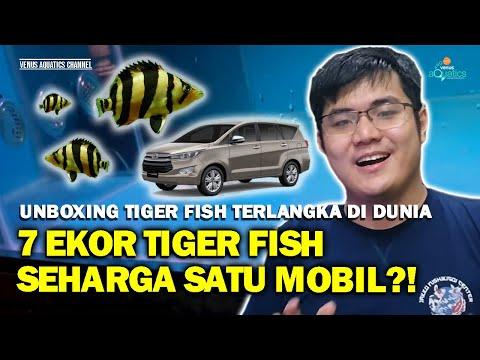 UNBOXING DATZ SIAM DATNIOIDES PULCHER IKAN TIGER FISH TERLANGKA DI DUNIA!!