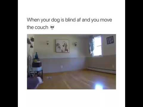 When your dog is blind and you move the couch