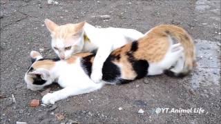 Video 25 Cat & cat,  Kucing lagi Kawin ,Cat merried , Cat playing, Cats mating, Cats quarrel download MP3, 3GP, MP4, WEBM, AVI, FLV November 2017