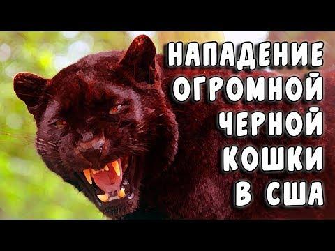 Нападение огромной черной кошки в США (Мистификация №21)