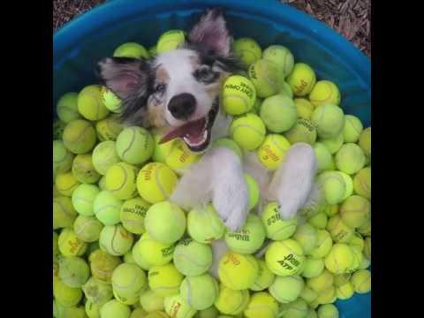 Happiest Aussie Puppy in Ball Pool
