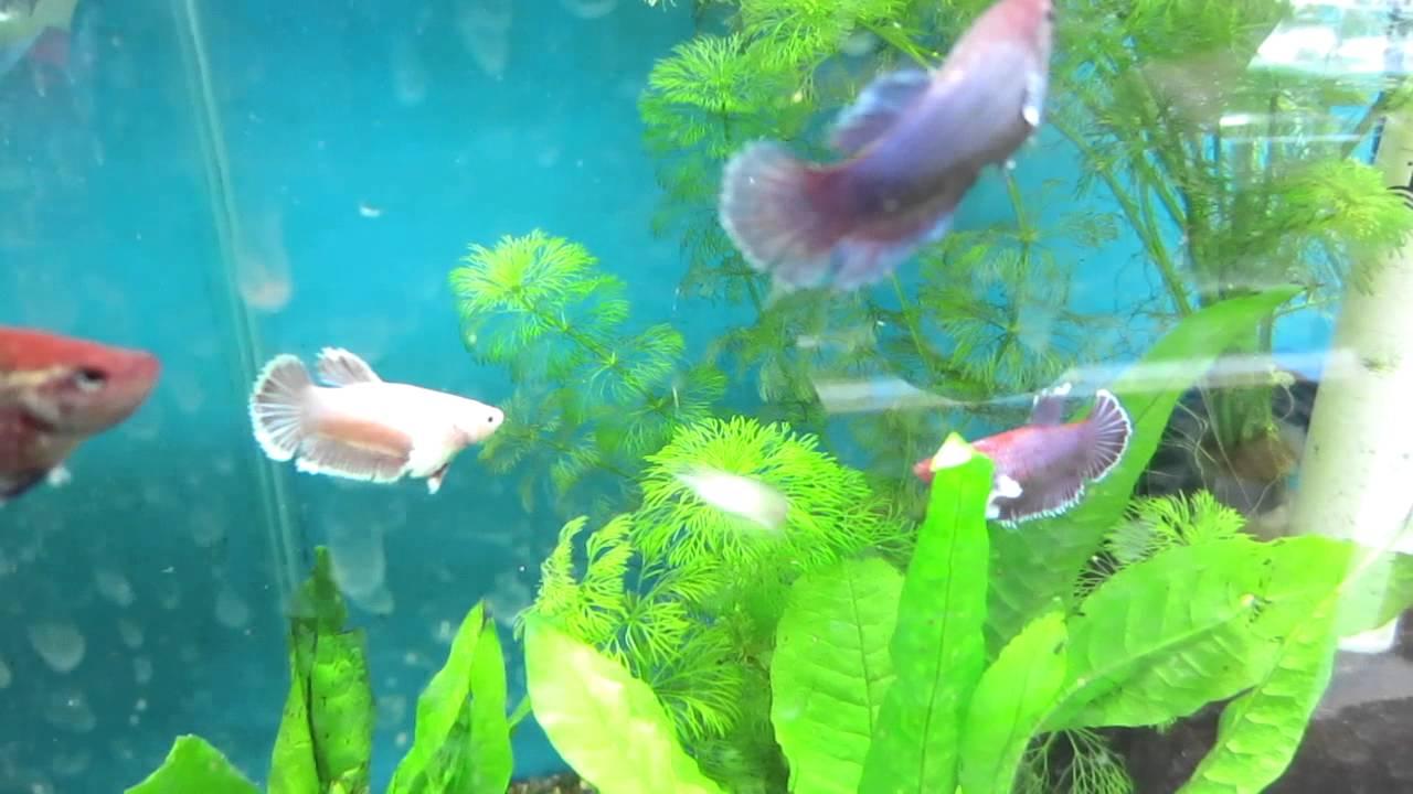 Female elephant ear betta fantasy aquatics youtube for Elephant ear betta fish