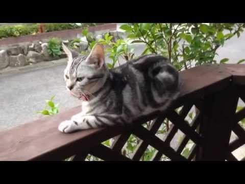 American Shorthair Atori Cat