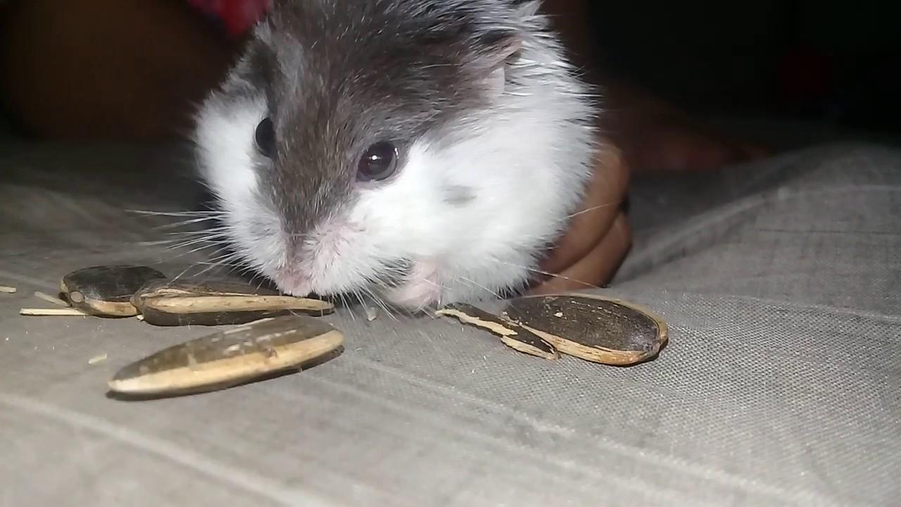 Hamster Makan Kuaci Youtube