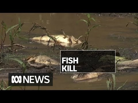 Rainwater Washed Bushfire Ash Into This River, Now 'thousands' Of Fish Are Dead | ABC News