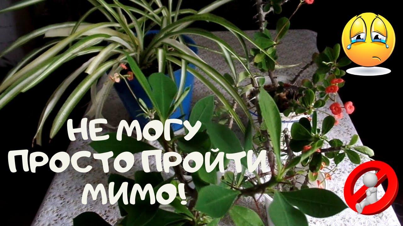 Я подобрала эти растения в один день: Слезы Иисуса и Хлорофитум.Как я могла пройти мимо?
