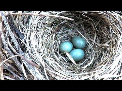 Гнездо дрозда Белобровика с кладкой яиц
