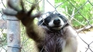 A Cute Raccoon And Funny Raccoon Videos Compilation || NEW HD