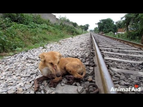 Dog Thrives Even After Having Three Legs Crushed By Train