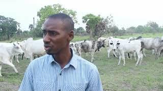 IVOIREAGRO.COM  :  DICKO MOHAMED ELEVEUR  BOVINS A TOUMODI documentaire FINAL upd