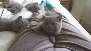 British Shorthair.  Play time - litter J*Calmcat cattery British Shorthair