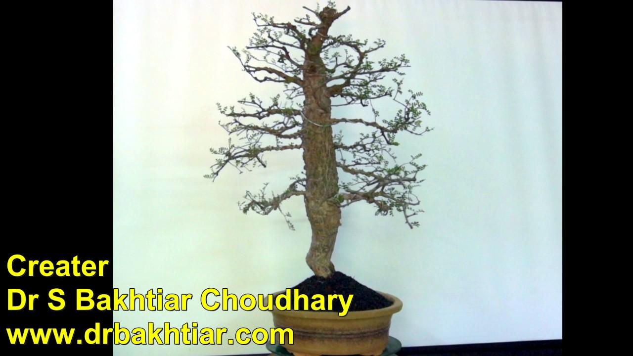 Bonsai Elephant Tree Operculicarya Decaryi Dr S Bakhtiar Choudhary Youtube