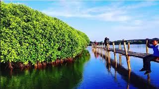 Jembatan Si Api - Api di Hutan Mangrove Kulon Progo