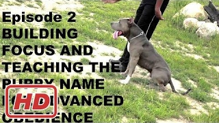 pit bull pitbull dog puppy basics  training focus and name obediance trainer episode 2